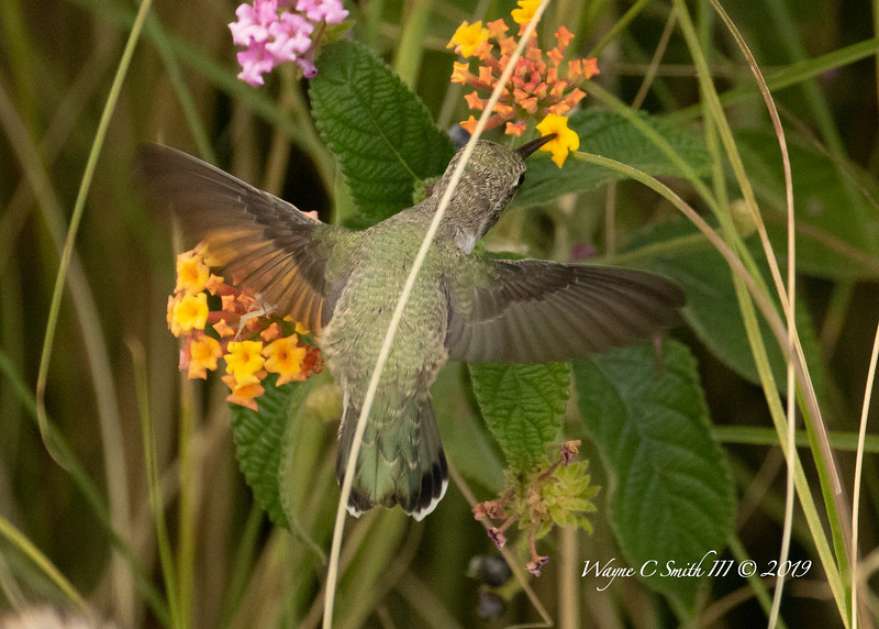 Female Costa Hummingbird Feeding on Nectar