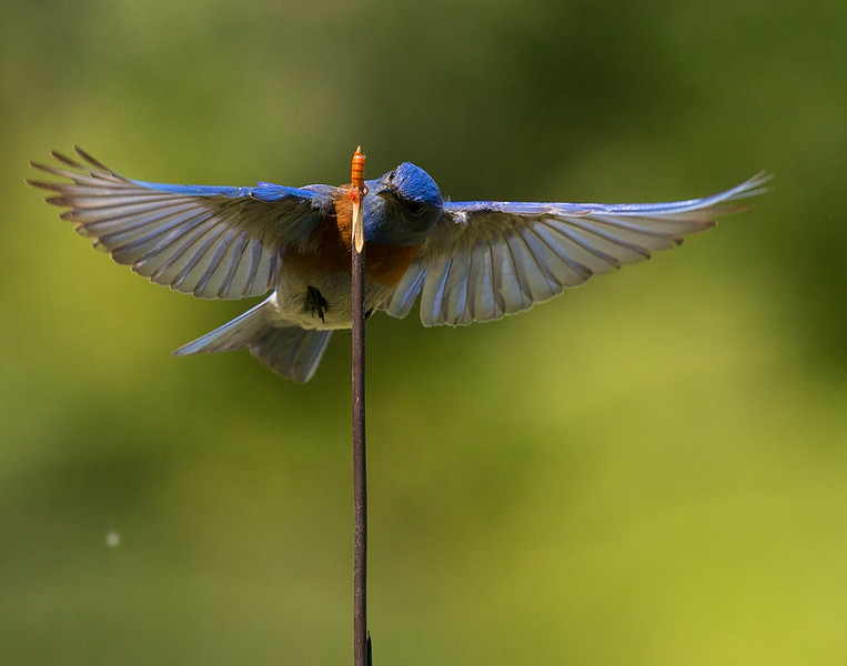 Robin-25.jpg