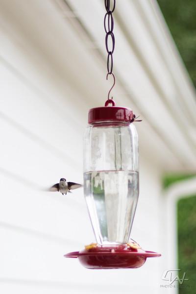 Hummingbird-1904.jpg