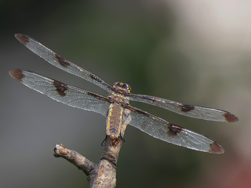 sx50_dragonfly_fauna_467_1.jpg