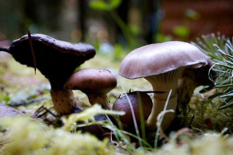 Gomphidius glutinosus, slimy spike-cap