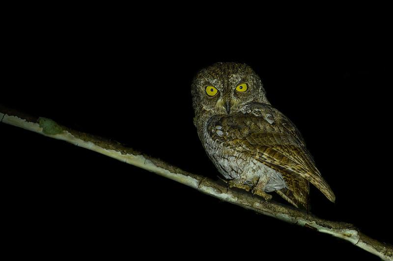 Waldens-scops-owl-andaman-1.jpg
