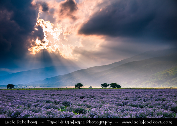Bulgaria - Rose Valley - Lavender