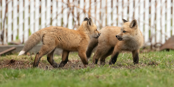 Foxes 2019