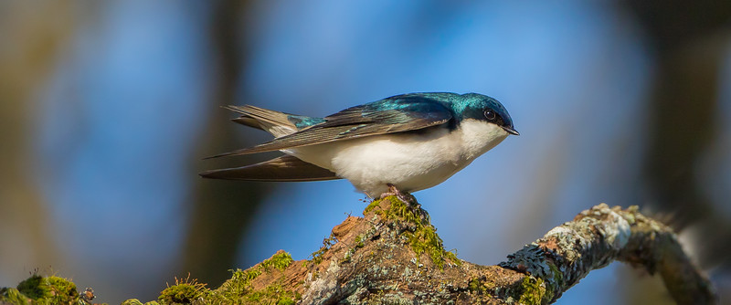 Tree Swallow (Tachycineta bicolor)