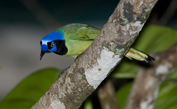 Inca Jay