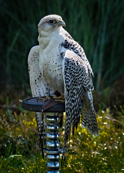 Gyrfalcon on silver perch