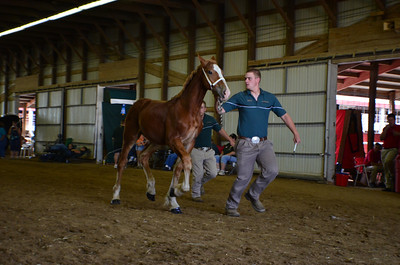 598 Stud Foal Belgians