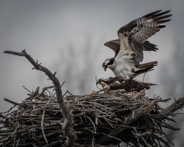 Ospreys mating profile