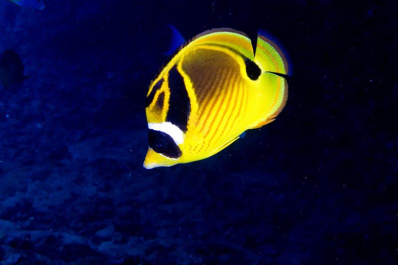 Racoon BUtterflyfish.jpg