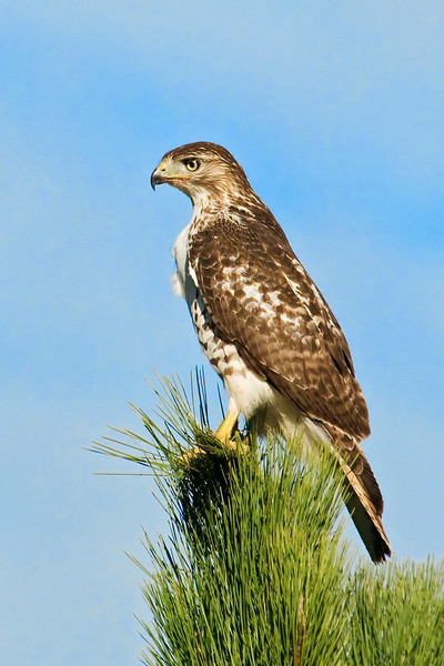 Hawk - Red-tailed - Black Hills, SD