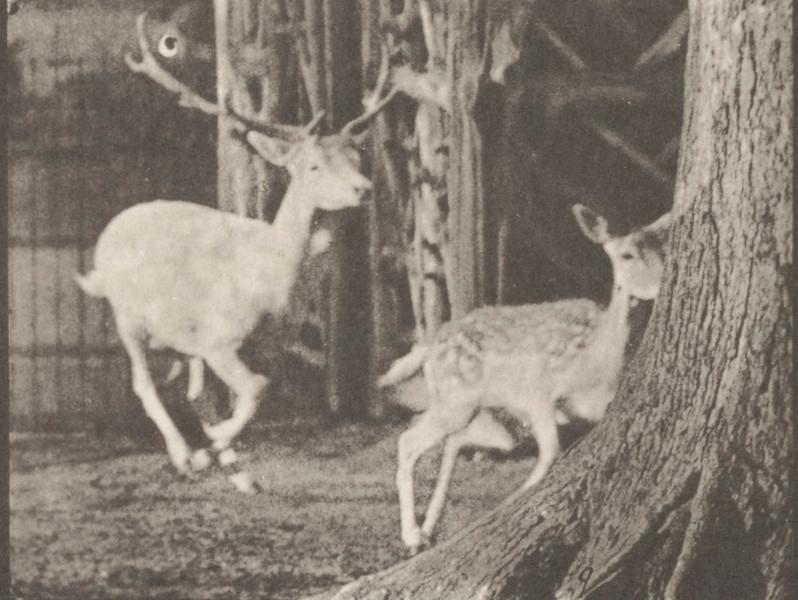 Fallow deer, buck and doe, galloping