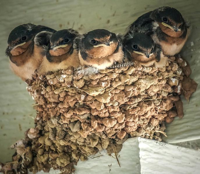 Barn swallows-spotlight.jpg