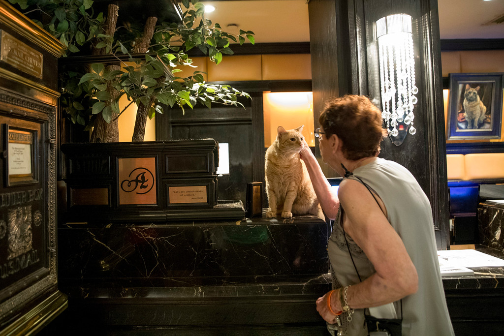 . In this Thursday, Aug. 2, 2018 photo, Chief Cat Officer Alice De Almeida pets Hamlet VIII as he sits on his perch at the front desk at the Algonquin Hotel in New York. The event is a fundraiser for the Mayor\'s Alliance for NYC\'s Animals, which helps support more than 150 animal shelters and rescues in New York. (AP Photo/Mary Altaffer)