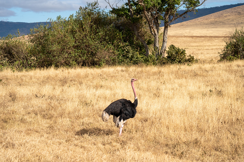 Ostrich in the Ngorongoro Crater