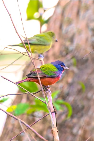 Painted buntings, male and female