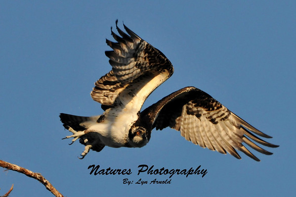 A blessed day at Lima Lake -  Osprey