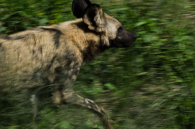 Wild Dog Slow Pan