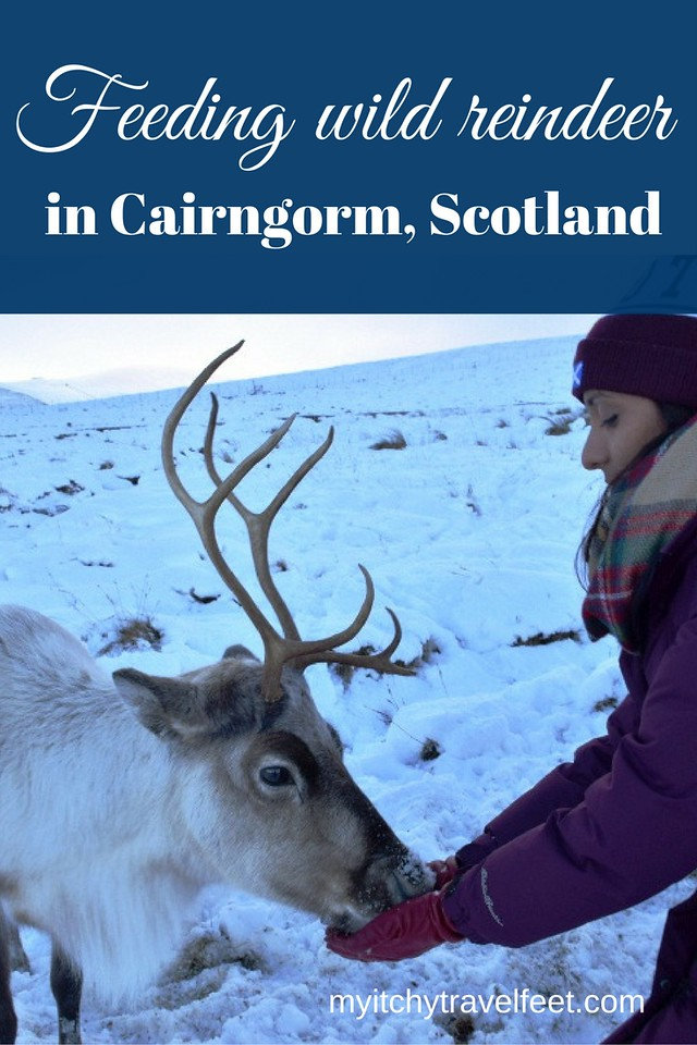 On a Cairngorm reindeer adventure, enjoy a winter day in Scotland with beautiful wildlife. #boomertravel #Scotalndtravel #cairngorm #reindeer