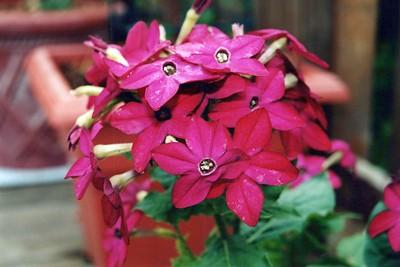 5-21-2000 Deck Flowers