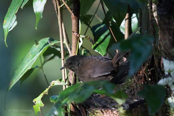 Long-tailed Bush Warbler