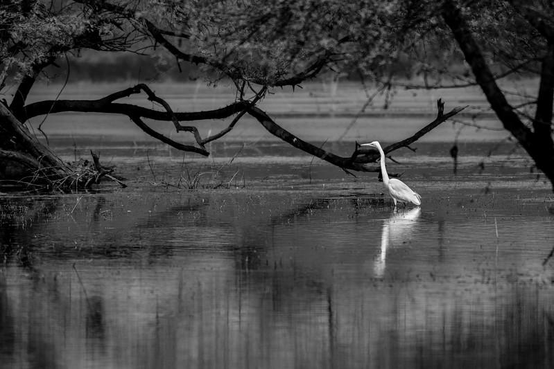 Egret-stillness-bharatpur.jpg