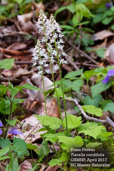 Tiarella_cordifolia_2.jpg