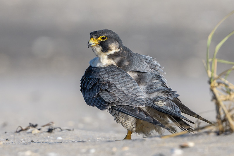 Peregrine on Beach-9048.jpg