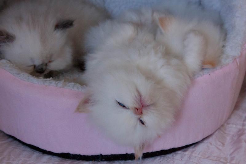 Himi_Kittens_Nov30-8138.jpg