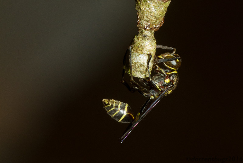 Paper wasp, Mischocyttarus sp., from Panama.