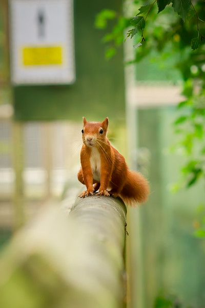 2020 - Red Squirrel 003