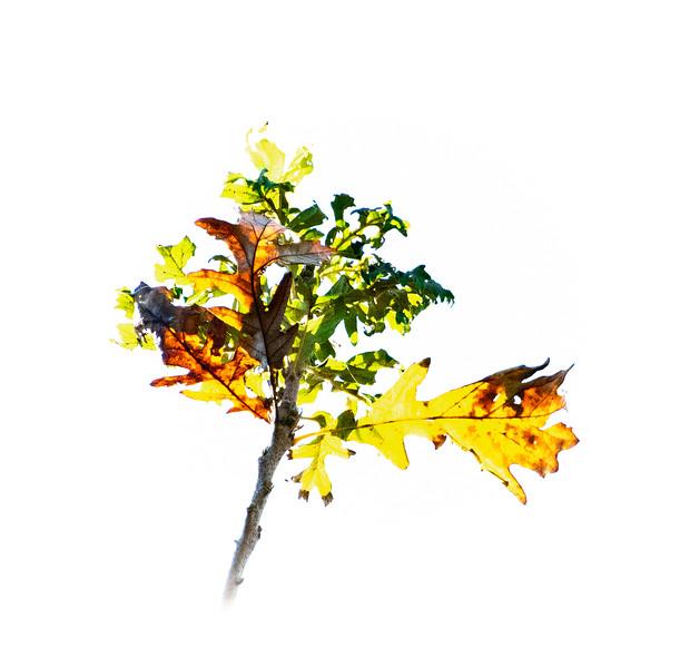 Red Oak in High Key.jpg