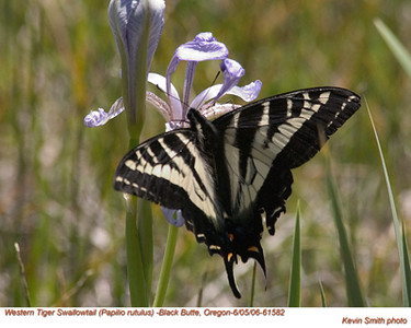 WesternTigerSwallowtail61582.jpg