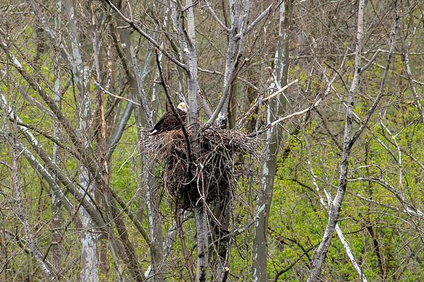 Bald Eagles nest in Southwest Pennsylvania