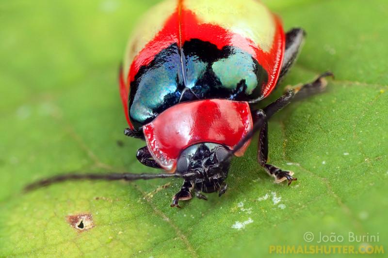 Red leaf beetle