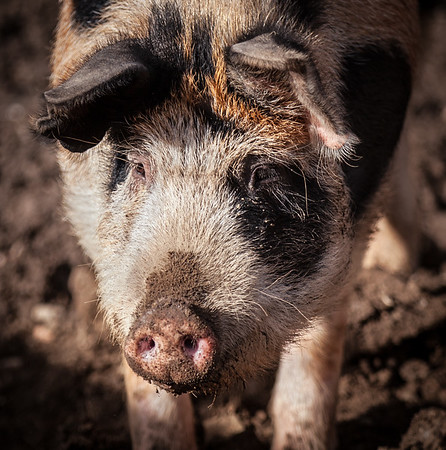 pig--_MG_9622-Edit