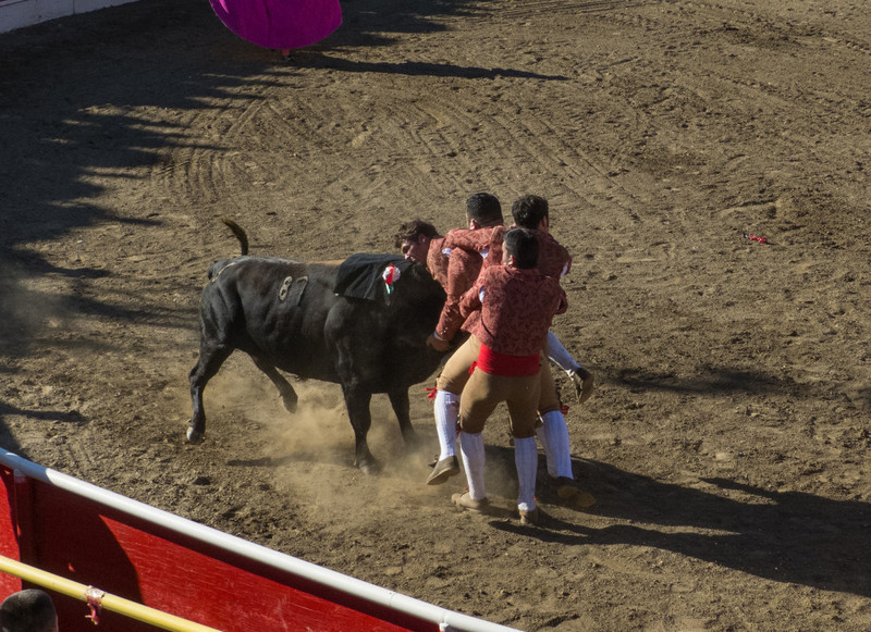 """High speed still sequence: (Next 4 photos) The Forcados go for a FOURTH try of """"pega de cara"""" with the same bull."""