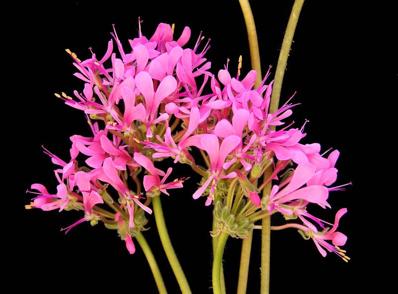 Pelargonium incrassatum flowers pink