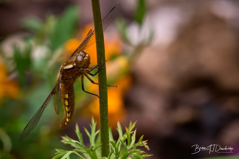 Broad-bodied Chaser-0304_DxO - 2-45 pm.jpg