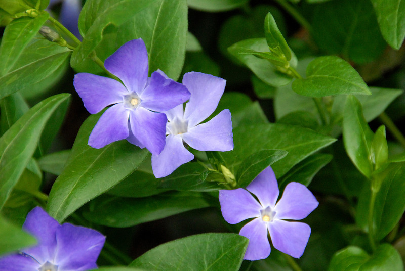 5/10/07 – Everything in the yard is about at its Spring peak. This is Vinca in our backyard. It is my favorite ground cover because of how thick and green is grows, and the purple flowers in the spring.