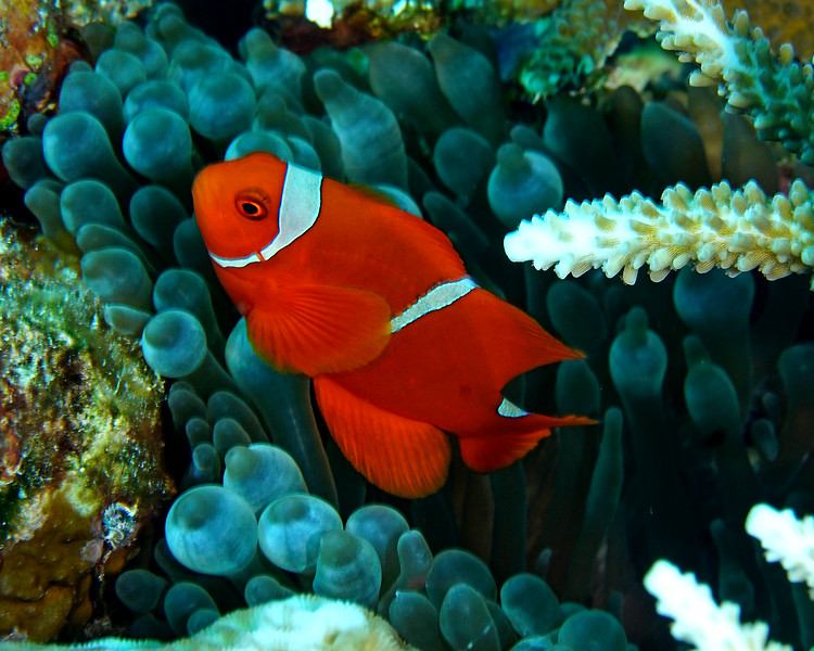 Male Spinecheek Anemonefish