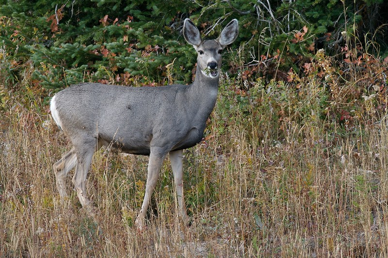 Look at those ears! Mule Deer get their name from their oversized ears [September; Yellowstone National Park, Wyoming]