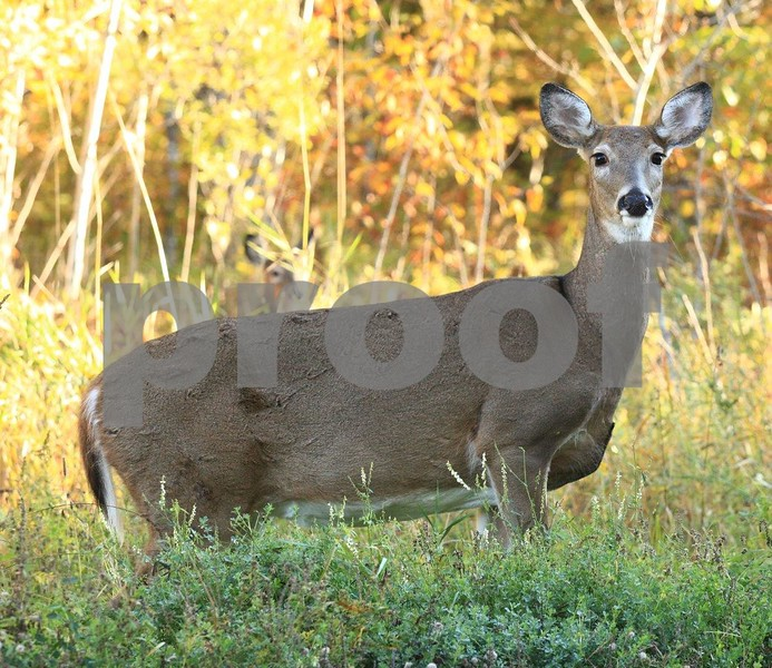 White tail deer 6260c.jpg