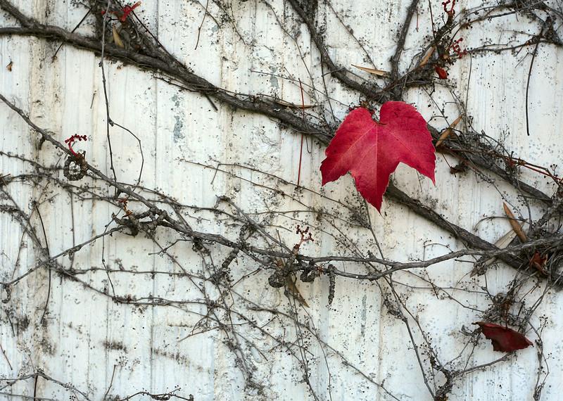 0212 Red Leaf on B&W.jpg