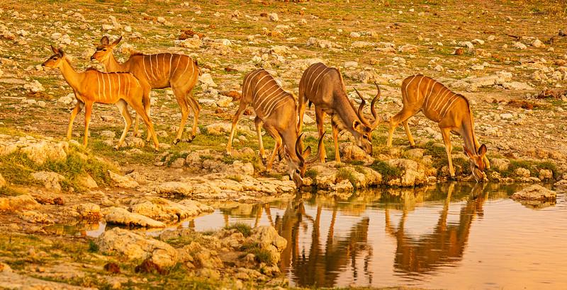 Kudu herd