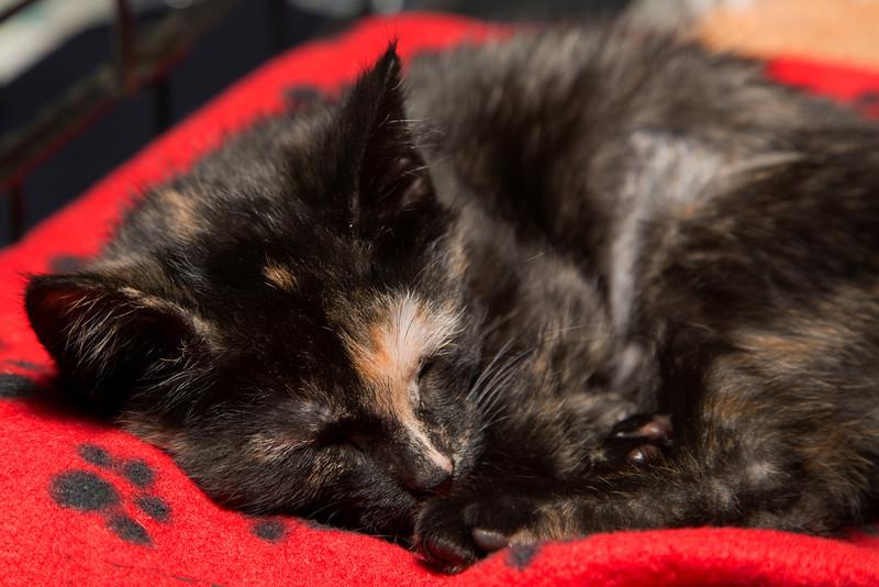Tortie Kitten (20140518-AWT-GC-165).jpg