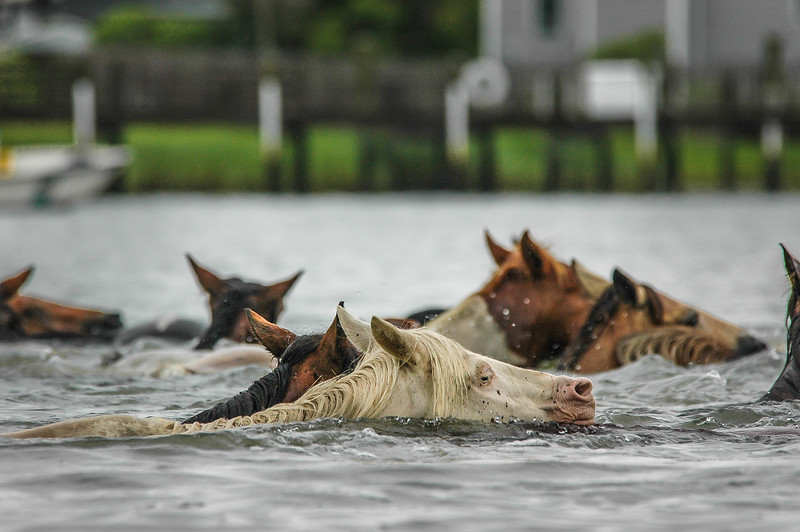 Chincoteague Island Pony Swim Return Swim #4