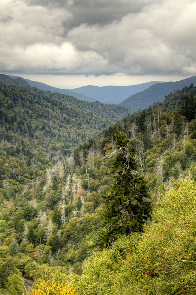Dead trees stand out against the vibrant greens and yellow of the trees in the Great Smoky Mountains National Park in Gatlinburg, TN on Sunday, September 28, 2014. Copyright 2014 Jason Barnette