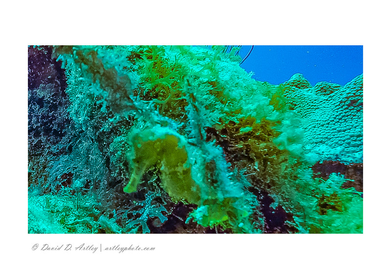 Hippocampus (Sea Horse), Little House Reef, East End, Grand Cayman Island