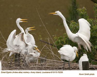 Great Egrets Rookery70256.jpg